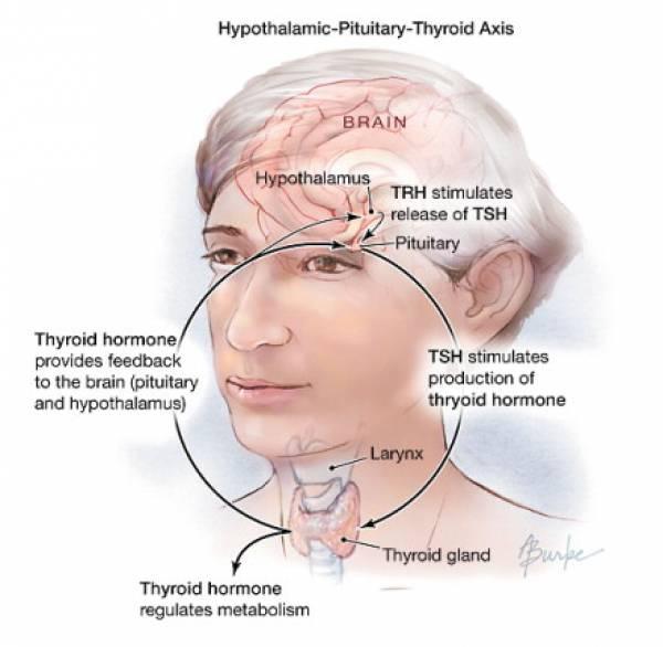 Оценка функции щитовидной железы для диагностики субклинического гипотиреоза является обязательной для будущих мам  - результаты исследования