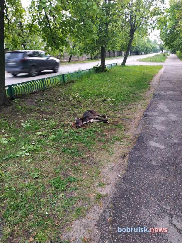В Бобруске убили домкратом питбуля, нападавшего на всех подряд
