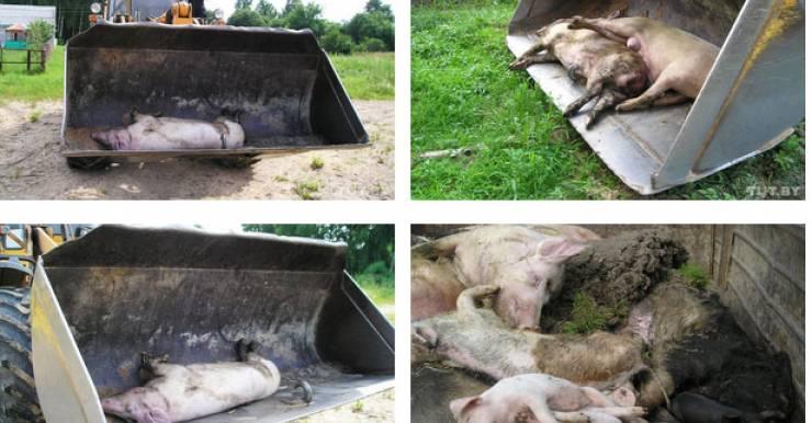 Африканская чума свиней в Беларуси